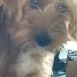 Lost dog on 16 Jul 2016 in Galway City. Our dog Millie is a mixed breed terrier, she has been missing since the 16/07/16 from the Newcastle area in Galway City. Millie is about 5 months old and is golden/brown with grey and black hairs along her back, she has two cream coloured front paws and has a white breast. She is extremely friendly and is wearing a black collar. Please contact 0851294330 if found, we are desperate!