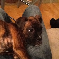 Lost dog on 16 Jun 2013 in Lusk co Dublin. Dog missing since Sunday at 4 pm the 16 th from lusk area .he is a male brindle coloured boxer with white on his chest and white on his paws .he is chipped and not neutered .he is our family pet and a reward is offered.he is 8 months old and please help bring him home our numbers are 0867269599 or 0861694925