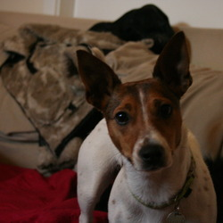 Lost dog on 16 May 2014 in Glenageary/Dalkey/Dun Laoghaire. JACK RUSSELL female.  Stand up ears.  Very friendly.  Lost Glenageary/Dalkey/Dun Laoghaire on Friday 16th May.  Brown and white markings. 1 1/2 years old.