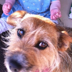 Lost dog on 16 Nov 2014 in Caherconlish Co. Limerick. I would like to report a lost dog. Penny was lost on Sunday evening 16th Nov near the tennis courts in Caherconlish Co. Limerick. As can be seen in the attached photo Penny is a wire haired fox terrier of approx 6kg and 6yrs old. She is neutered and microchiped. She wears a red collar and is a timid nervous dog. She was injured in an attack by a pack of loose dogs and ran away. She is golden brown with a white patch on her front. Any information to help find Penny would be greatly appreciated.