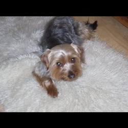 Lost dog on 16 Oct 2016 in Carrigaline, Cork. Found. My Yorkshire terrier called Bobby is missing since early this morning.