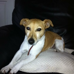 Lost dog on 16 Sep 2015 in Kildare. Lost today jack Russell 10 years old names Kim. Lost in castledermot area of South Kildare. Much loved pet. Reward offered
