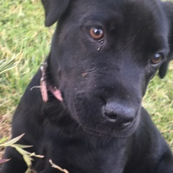 Lost dog on 16 Sep 2017 in Donoughmore. Millie is a 5 month old black lab, who went missing on the 16th of September. She would've went missing around the Donoughmore area or cork. She did not have a collar on.