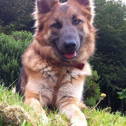 Lost dog on 17 Apr 2013 in Woodsgift/Tullaroan/Urlingford - Co Kilkenny. Our beautiful German Shepherd Luna went missing from Woodsgift/Tullaroan area of County Kilkenny on Wednesday 17th April. She is microchipped and our phone number is on her collar. Just want her home safe.