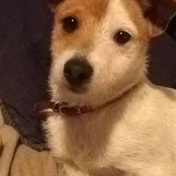 Lost dog on 17 Apr 2014 in Kilkenny. Went missing in Freshford area of Kilkenny. Small, not neutered,only wearing a collar. Very distinctive markings. Please call 0863645432 if found.