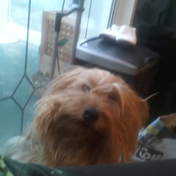 Lost dog on 17 Aug 0015 in Tallaght Dublin 24. Last seen in tallaght area loved family pet male Yorkshire terrier please contact me 0852830383