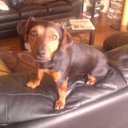 Lost dog on 17 Aug 2013 in Edenderry, Co.Offaly. Lilly is a very sweet small black and tan Jack Russell, she went missing on Friday night in Edenderry Co.Offaly, Desperate to get her home. If anyone has any information, no matter how small, please contact me. Thanks a lot