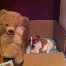 Lost dog on 17 Aug 2014 in blancardstown. Roxy Is A Brown And White Jack Russell Very Friendly With Small Tale She Was Last Seen In Corduff Blanchardstown On 17 August 2014 She Is Wearing A Blue Collor With Cloth Attached To The Collar.
