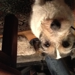 Lost dog on 17 Aug 2015 in Lismore, Co. Waterford. Wire haired Jack Russell Terrier long tail, neutered, mainly white with black/brown patches, wearing blue collar answers to Alfie about 9 years old