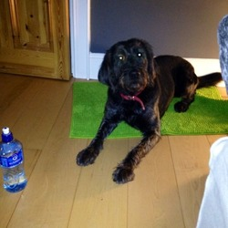 Lost dog on 17 Dec 0013 in Dunshaughlin. Black labradoodle. 4 years old went missing killeen/dunshaughlin area 17th December. Has red collar and microchipped. Pls call 086 8258204