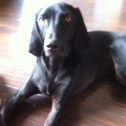 Lost dog on 17 Dec 2014 in NEWCATLE, CO DUBLIN. MISSING SINCE 17/12/14 BLACK LAB X WITH SMALL WHITE MARKING ON CHEST, LONG FLOPPY EARS, MALE, NEUTERED, NOT CHIPPED, MUCH LOVED FAMILY PET,NO COLLAR
