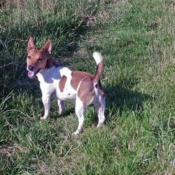 Lost dog on 17 Dec 2015 in Watergrasshill. Jack russel Reward 085 1106 608