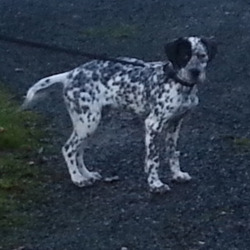 Lost dog on 17 Feb 2013 in limerick. Pup lost in the ballingarry/rathkeale area of county limerick. He is a good bit bigger than this picture now and is still growing fast but has the distinctive markings as per photo. Looks like a pointer/dalmnation. Very friendly active pup.
