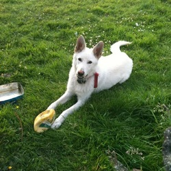 Lost dog on 17 Jun 2012 in Limerick. White alsation, male, 0879813270