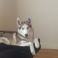 Lost dog on 17 Jun 2014 in Kimmage. Please Share!! Spector is Lost!! Neighbours saw him run from house at around 5pm. He knows Sundrive Park very well BUT I have searched and he is not there. Please share & get in touch if anyone spots him. He has clear, bright blue eyes, no collar, white with fawn/brown colouring. He is very friendly. Thanks.