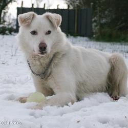 Lost dog on 17 May 2013 in Tournafulla, Co. Limerick. White Male medium size cross dog.  All white apart from brown spots on his ears and a brown stripe across his shoulder.  Neutered and chipped but chip not registered.