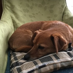 Lost dog on 17 May 2017 in Stillorgan blackrock. Brown tan with 3 white paws,small terrier,with pink collar. She has been found and happy home now.