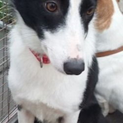 Lost dog on 17 Nov 2015 in Griffith Avenue, Dublin 9. Please help - DIONNE, a black and white, medium sized, spayed, microchipped Collie X was homed last week from Dog's Aid. Last night while walking with her new family, she bolted off the lead. Dionne is MISSING from Griffith Avenue, near the St. Vincent de Paul Church. She has a red and white polka dot collar with I.D. Tag. She also has a chain lead with a leather handle. She must be hiding out in one of the estates there. Please help find Dionne. She's terrified of people, traffic, everything really so even a sighting would be a massive help.