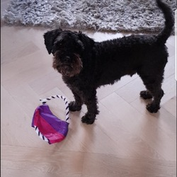 Lost dog on 17 Nov 2017 in  in Dublin 2 are a near ranelagh and portobello. small black schnauzer poodle mix very chipped he answers to pluto