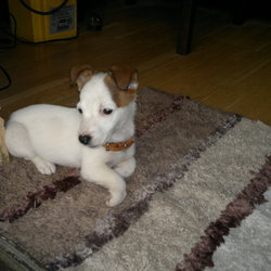 Lost dog on 17 Oct 2012 in blanchardstown. i lost my dog jack russel if you finde her give me a call!!!!!!!!!!my phone 0851001182