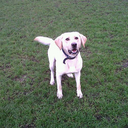 Lost dog on 17 Sep 2012 in ATHLONE. MALE LABRADOR 3 YEARS OLD MISSING FROM ATHLONE TOWN.  IF FOUND PLEASE CALL 087 9434804 OR 