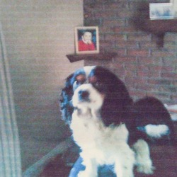 Lost dog on 17 Sep 2012 in Carrigeen, Co Kilkenny. King Chales, Black, White & Amber, Male, Age 6.5, Microchipped. REWARD OFFERED