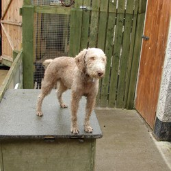 Lost dog on 17 Sep 2012 in Stamullen Co Meath. FOUND Bedlington Terrier 3 year old brown in colour
