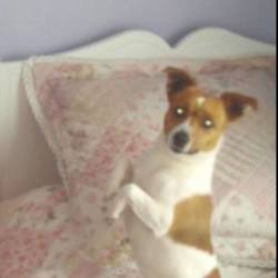 Lost dog on 18 Aug 2014 in Drimnagh,Dublin.. White and tan, Jack Russell, goes by the name of Tigger.