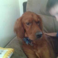 Lost dog on 18 Dec 2014 in naas. STOLEN RED SETTER...RED SETTER STOLEN FROM NAAS - please SHARE to help find him  This beautiful Red Setter was stolen from the back yard of a house in Naas three weeks ago. He's been neutered so he can't be used for breeding, but it's likely he will be offered for sale (or abandoned) at some point, so please share far and wide.  If you have any information as to his whereabouts, please contact Amanda on 086 3152732. Thank you!
