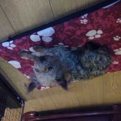 Lost dog on 18 Jul 0016 in Ballinrobe Co.mayo. mayo. Shorty is a Yorkshire terrier 2 years old.he went missing on the 18th of July from the kilmaine road ballinrobe area. he is wearing a red collar. if anyone has any information please contact me on 0876711209