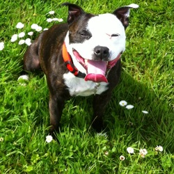 Lost dog on 18 Jun 2014 in Raheny, dublin. Black & White staffie, 3 years old, very friendly, neutered. escaped from back garden. possibly wearing a red collar