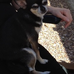 Lost dog on 18 Jun 2015 in Naul, Co Dublin. 5 year old Chihuahua Louis black/ tan. Very shy and nervous