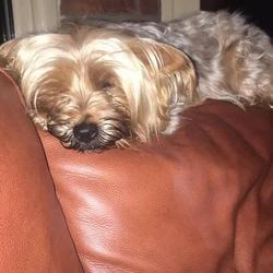 Lost dog on 18 Mar 2017 in Griffith Avenue, Dublin 9. This little sweetheart is missing since Saturday evening from the Marino area. She is 6 years old, wearing a collar with owners contact details and is also microchipped but only registered with new owners in the last couple of days.