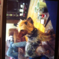Lost dog on 18 Oct 2012 in Artane, Dublin 5.  Yourkshire terroir 3 years old grey hair on back and has puppy cut. Called peaches
