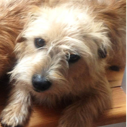 Lost dog on 18 Oct 2015 in Kenmare, Co.Kerry. Still Missing! Male Brown Cairn Terrier X. 