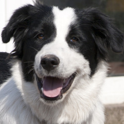 Lost dog on 18 Sep 2012 in Douglad/ cork. large black and white collie cross. female. strayed fro castletreasure/Donnybrook Douglas Cork on yesterday 18th September 2012