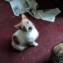 Lost dog on 19 Dec 2012 in Santry. Lost female terrier mix. White with brown patches. Missing since Sunday night from Lorcan Drive, Santry. Very timid dog. Sorely missed house pet. If found or seen please contact 0869972099