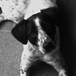 Lost dog on 19 Dec 2013 in Wicklow. Medium sized Pointer Terrier Cross. Black and white, speckled all over with one large and small black blobs on one side. Treasured family pet. Dearly missed by family and his best doggie friend