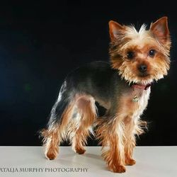 Lost dog on 19 Feb 2014 in Ireland . Miniature Yorkshire terrier was stolen from our house in Galbally, Ballyhogue, Co. Wexford. Female, 1 year old, microchipped. It happened on February 19th at 9:30pm. Reward offered who finds her! Ring 087-9250466