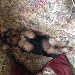 Lost dog on 19 Feb 2014 in Newbay, Wexford . Lost female Yorkshire terrier 8 months old in Newbay area just outside Wexford town on Wednesday February 19th...has no collar as I just showered and cut her hair yesterday and forgot to put it back on, if anyone has any information please call 0857483287, was most likely last seen with a brown Jack Russell Terrier and a white Japanese Spitz (out other 2 dogs)