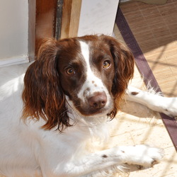 Lost dog on 19 Jan 2012 in Galway. Springer Spaniel White&Brown, without collar, 2 years old, male, very frindly 