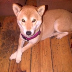 Lost dog on 19 Jan 2014 in Westmeath . My little dog went missing about 3 weeks ago she is very friendly she is about 5 years old but I need to get her home safely as she is epileptic and does not do very we'll on her own she is a small dog very light brown colour and she looks just like a fox contact me if you see her please  any time day it night here is my number 0858150403