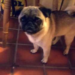 Lost dog on 19 Jan 2015 in donabate/swords co.dublin. Missing 4 year old male pug.