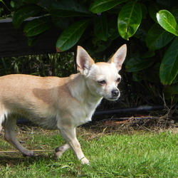 Lost dog on 19 Jul 2012 in Saggart Co. Dublin . Short haired Chihuahua. Ginger and white.