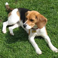 Lost dog on 19 Jul 2014 in Cloverhill/Clondalkin Industrial Estate. Six Year Old Female Beagle 