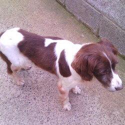 Lost dog on 19 Jul 2016 in Balheary Swords. Belle. 14 year old female Springer Spaniel. Liver & white. Very deaf. No collar. Strayed from garden 19/7. Please call Celine 0868699984