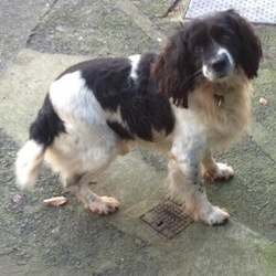 Reunited dog 21 Jul 2017 in Crossmolina, Co.Mayo. REUNITEDBlack and White springer spaniel. Very friendly and quiet dog. He is very old and much loved by his family! Went missing in the Crossmolina area. He is microchipped and was wearing a collar. If found please contact laura