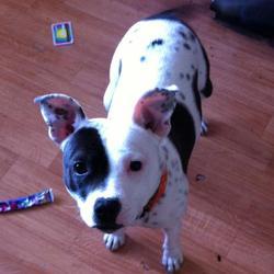 Lost dog on 19 Jun 2013 in Dublin. staffordshire female missing dublin,200 euro reward for her