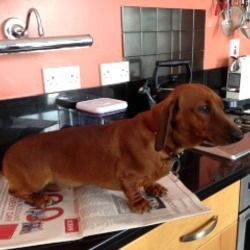 Lost dog on 19 Jun 2013 in Kilmallock., Limerick. Dachshund brown dog