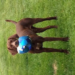 Lost dog on 19 Jun 2015 in Baysville area. Trigger is a GSP brown with white patch on his chest. He's 2 yrs old, tattooed and microchipped. Has a orange collar with tags stating all information. Please contact 1-705-431-8241 or cell 1-705-333-9127 or cell 1-705-229-1047 
